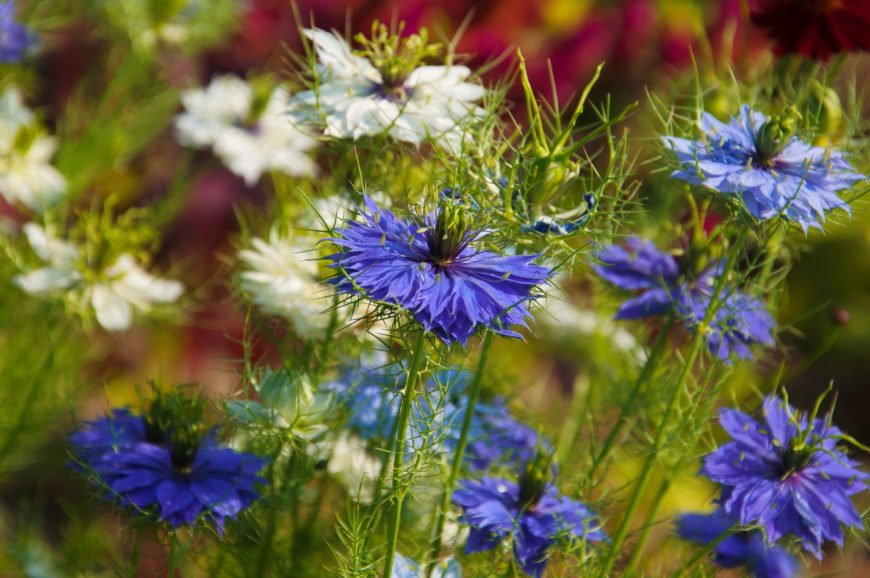 Love in a mist